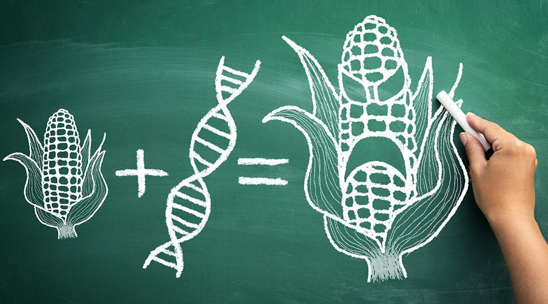 a description of genetically modified organisms gmos having caused a stir in the news recently Gmo — or genetically modified organism — refers to scientists adding a small amount of genetic material to plants or animals from another organism to introduce traits, such as herbicide.
