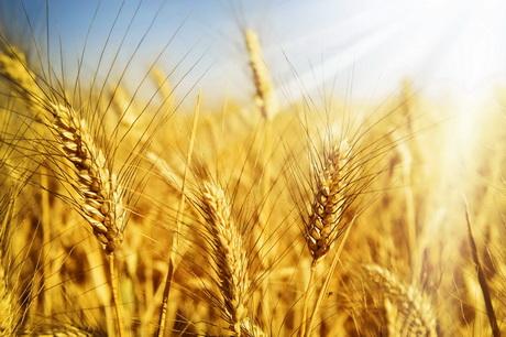 К 2050 году произойдет катастрофическое падение урожайности